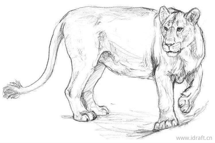 亚洲狮(雌)