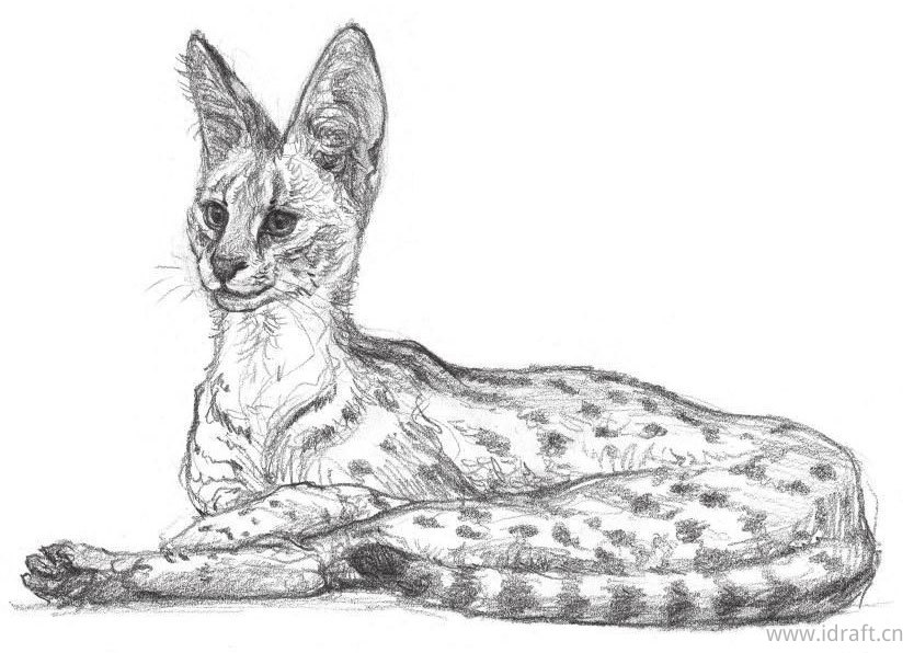 薮猫素描图