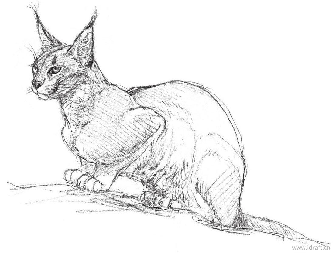 狞猫素描图