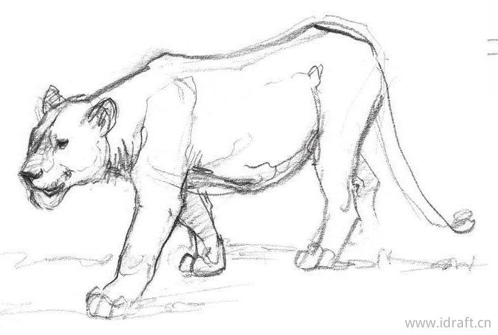非洲狮素描图