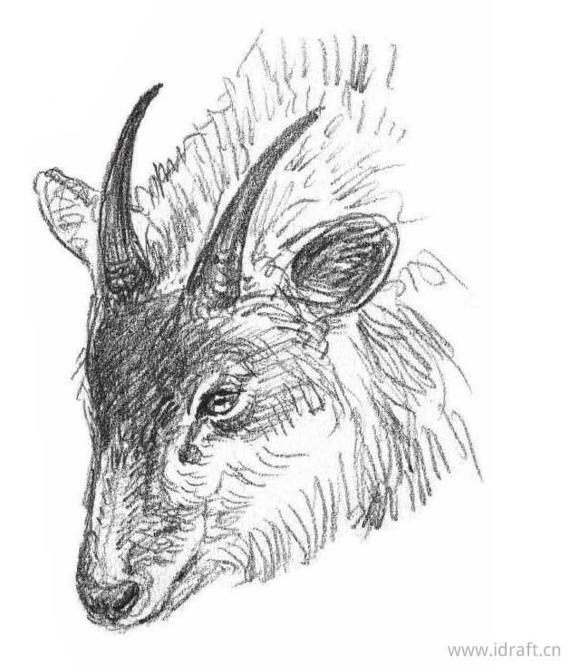 日本髭羚素描