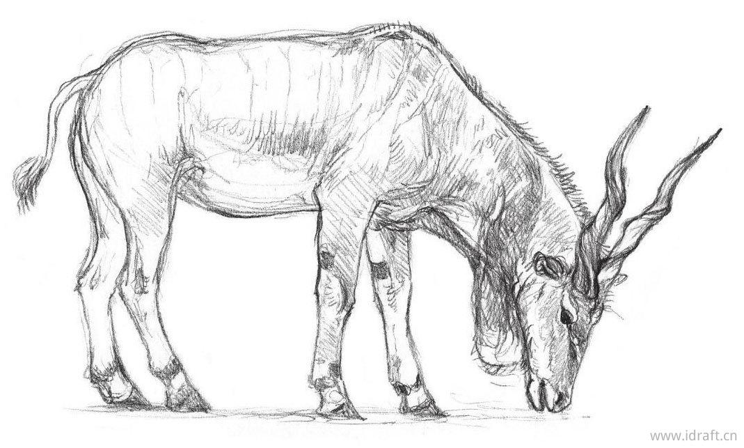 伊兰羚羊素描