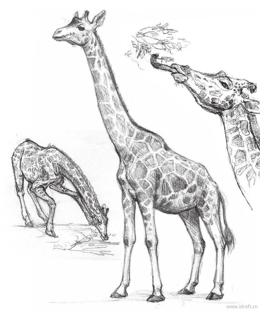 长颈鹿素描