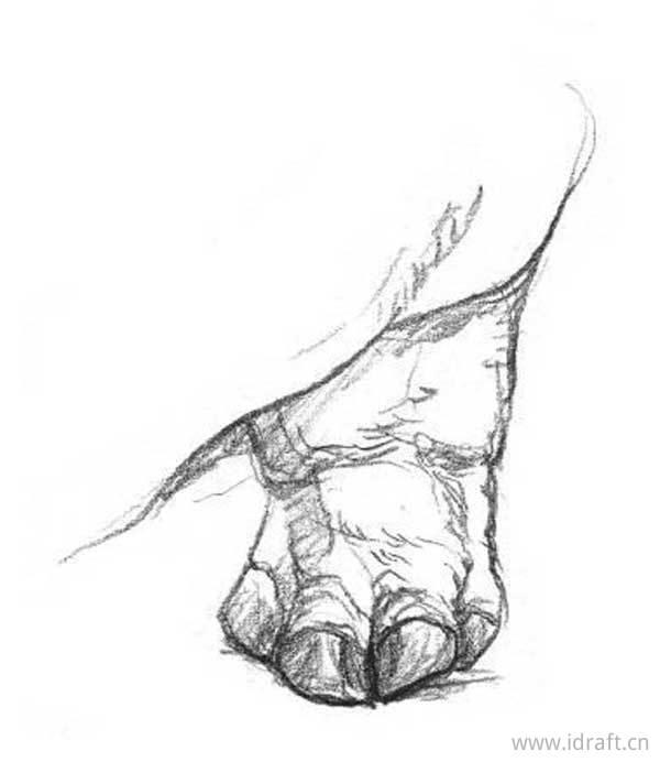 河马素描(后足)