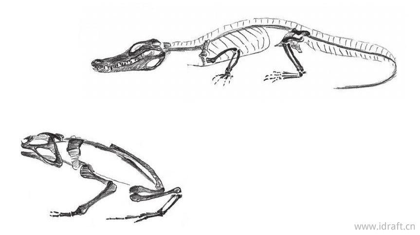 左:鳄鱼;右:青蛙