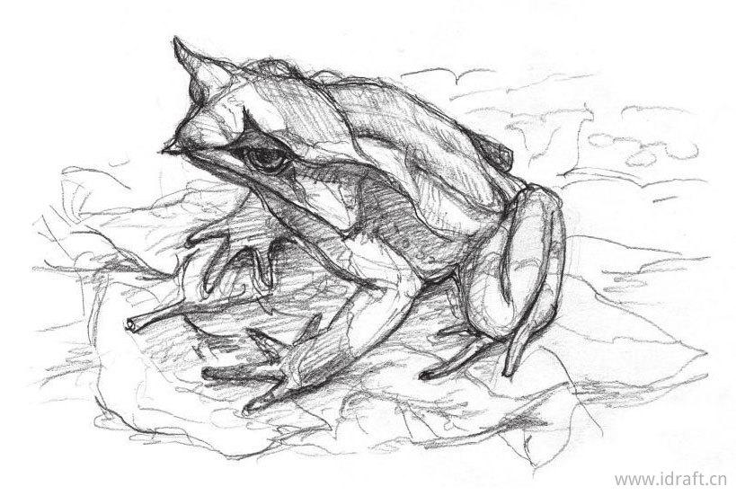 三角枯叶蛙的素描