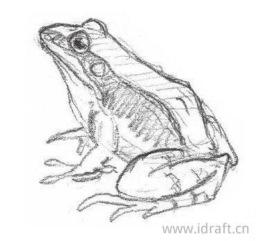 竖琴蛙的素描