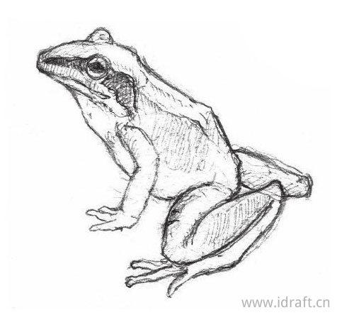 日本林蛙的素描