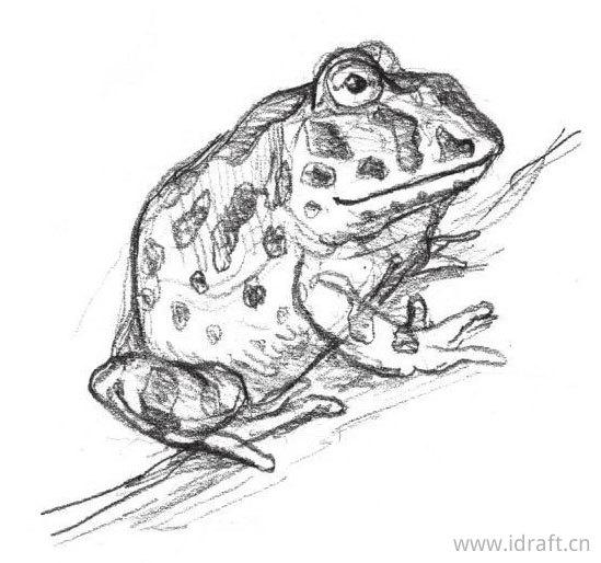 锺角蛙的素描