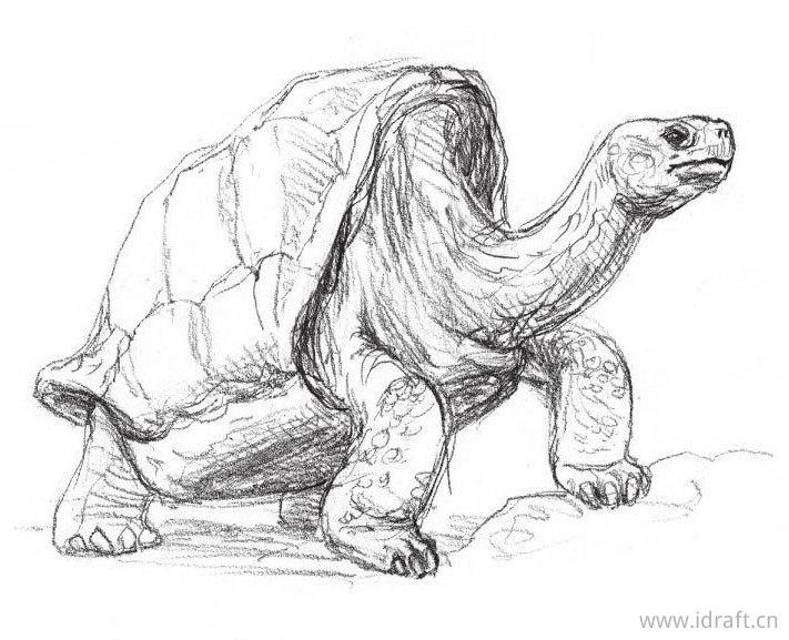 加拉巴哥象龟的素描