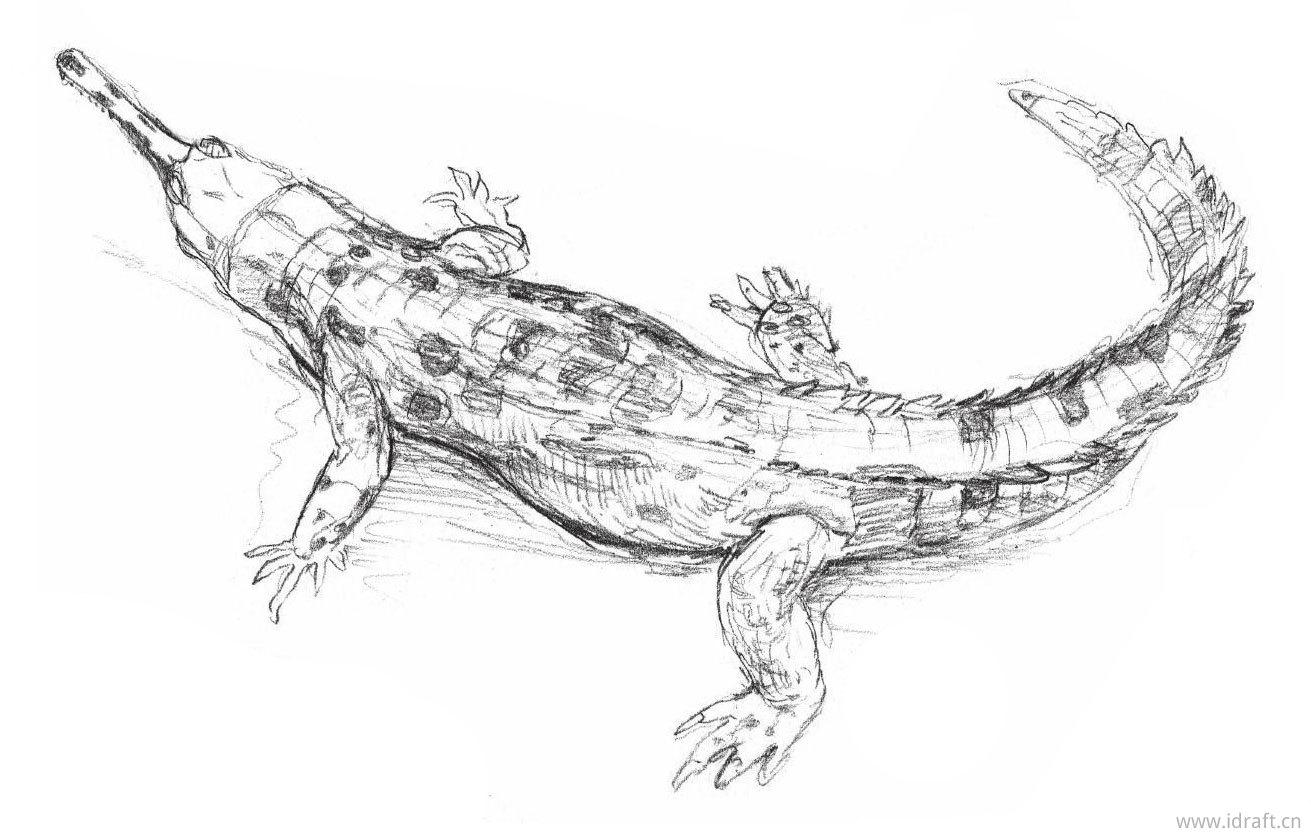 恒河鳄鱼的素描