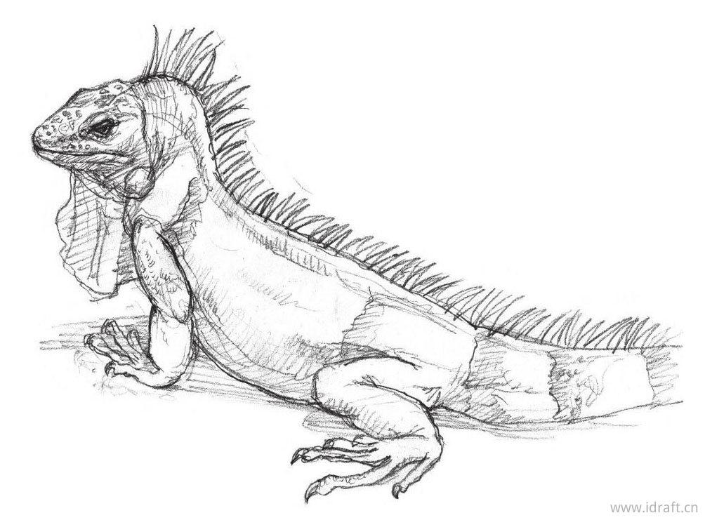 美洲蜥蜴的素描