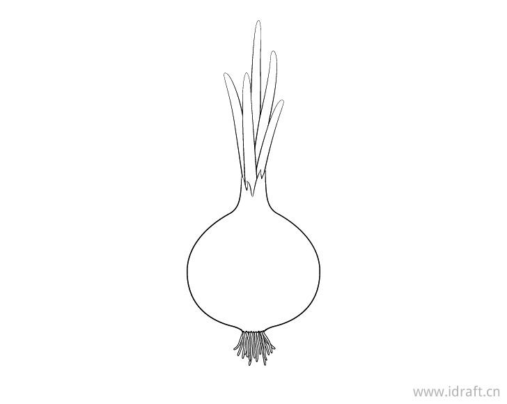 画出洋葱的根